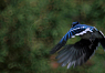 Blue Jay flying
